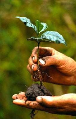 rostok coffee tree