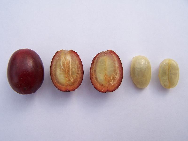 coffea-arabica plod i zerna