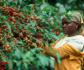 A8H7GC Woman picking ripe coffee cherries from the bush Arusha Tanzania