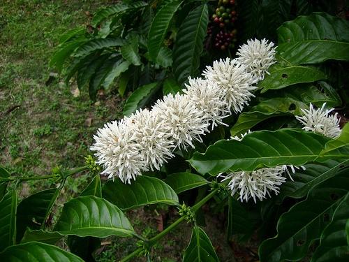 zvety na vetke coffee