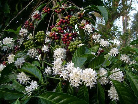 braziliacoffee